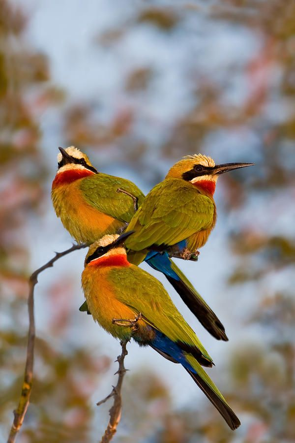 White-fronted Bee-eaters Photograph by Basie Van Zyl - White-fronted Bee-eaters Fine Art Prints and Posters for Sale