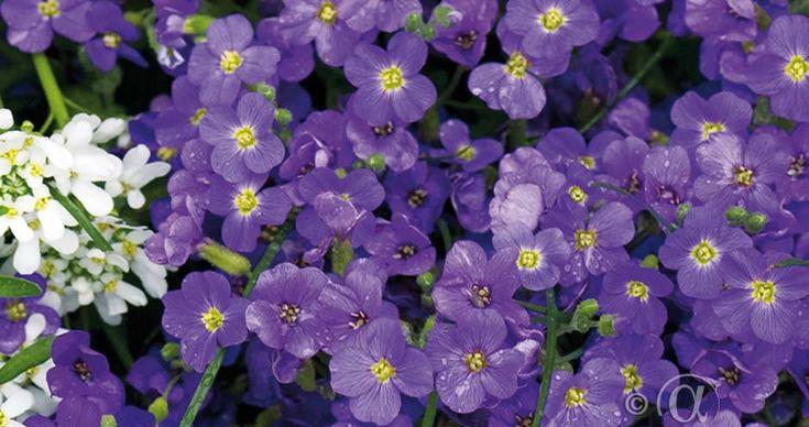 Aubretia, 'Blue cascade' Fjärilsväxter, fjärilsträdgård, butterfly garden plant  Rikblommande och vintergrön marktäckare, som ger trädgården lysande färgklickar under vår och försommar. Dess doft drar till sig bin, humlor och fjärilar. Passar fint i stenpartiet och slänten. Trivs bäst i näringsrik, sandblandad och väldränerad jord. Blommar året efter sådd. Kan odlas i hela landet.