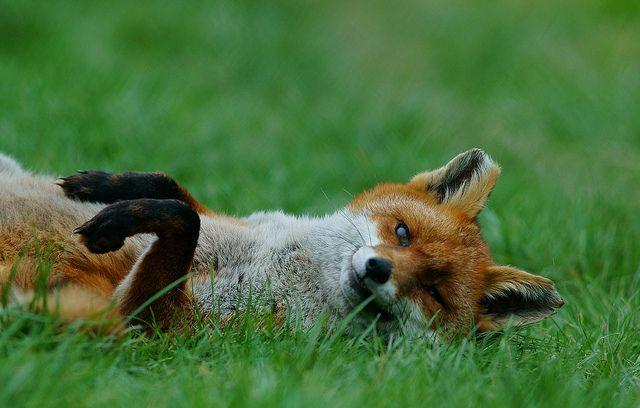 Never too old to play #fox #red_fox #vixen #Vulpes_vulpes #mytumblr