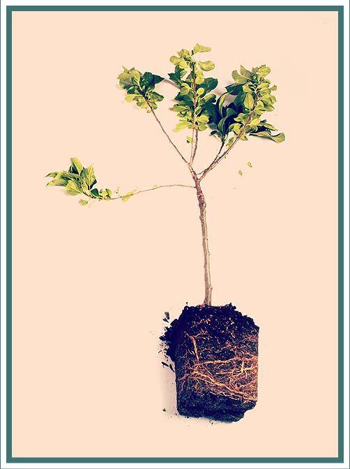 Appelboom! Meer weten over de appel? Bekijk: http://verwaardigingvanvoedsel.nl/  Apple tree! Learn more about the apple?  http://verwaardigingvanvoedsel.nl/