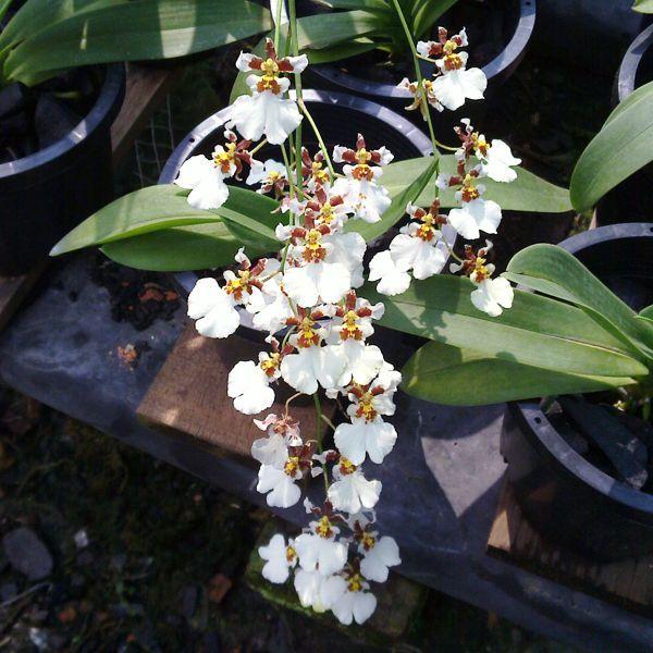 Oncidium Orchid Oc154 Orchid Plant Compot Oncidium White Cloud Orchids Oncidium Orchids Orchid Plants Oncidium