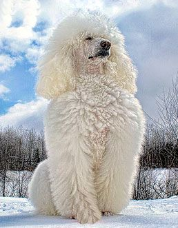 photo de caniche royal. Looks so regal but a clown at heart, I'm sure.