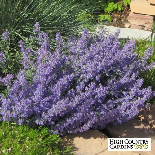 Blue Nepeta faassenii Select Blue Catmint | drought tolerant | easy to grow | attracts bees & butterflies | rabbit & deer resistant | fragrant | LONG BLOOMER