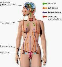 Resultado de imagen para aumentar la progesterona