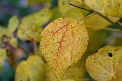 Answers To What Causes Hibiscus Leaves Turning Yellow - Hibiscus yellow leaves are common and usually not anything to worry about. Often, hibiscus leaves turning yellow will correct itself. In some cases, pruning of the entire plant is necessary.