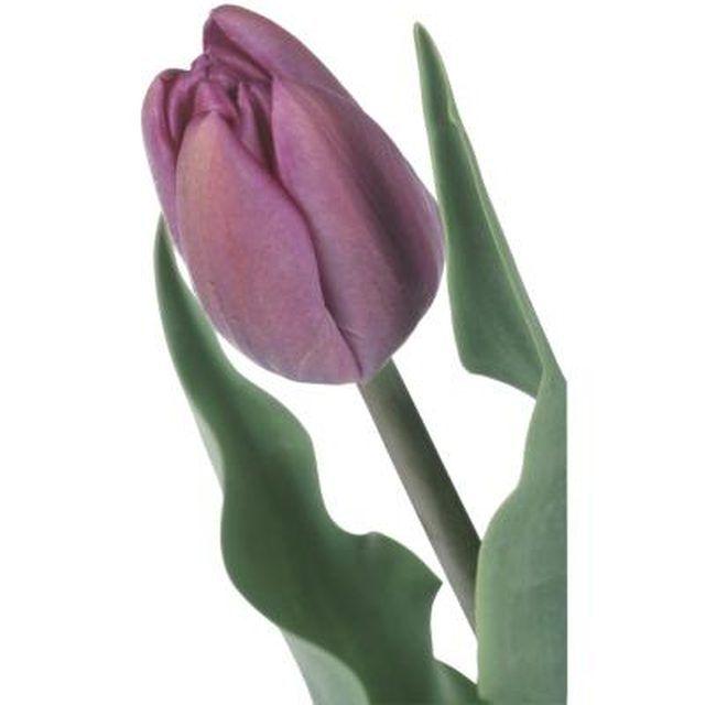 Make a realistic-looking tulip with edible fondant petals.