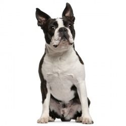 Il Boston Terrier è un cane dal fare elegante, maestoso e impettito. Il cane è intelligente e sveglio e sa cogliere al volo tutte le opportunità per giocare e divertirsi con le persone che ama. Non molto estroverso con gli estranei, è affettuoso e dedito alla famiglia.