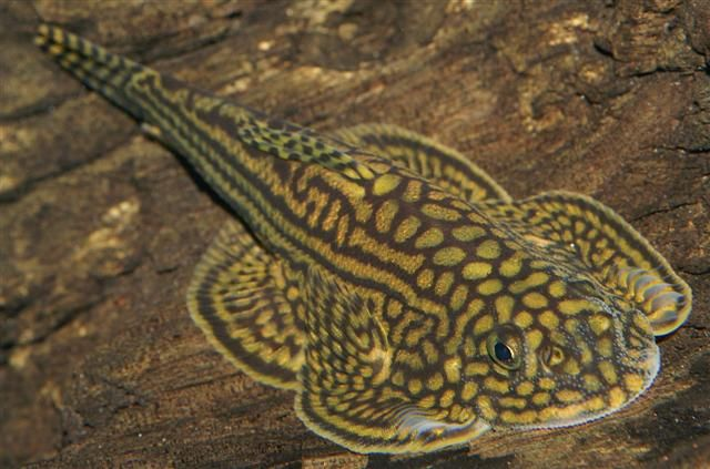 Reticulated hillstream loach sewellia lineolata these for Loach fish types