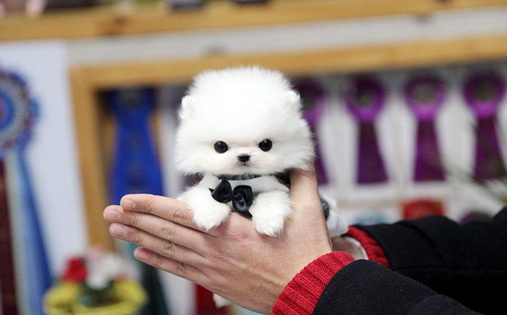 TEACUP PUPPY: ★Teacup puppy for sale★ White teacup pomeranian soul :)