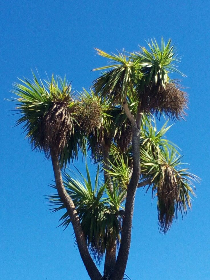 A magnificent cabbage tree against a clear summer sky in Christchurch, New Zealand.
