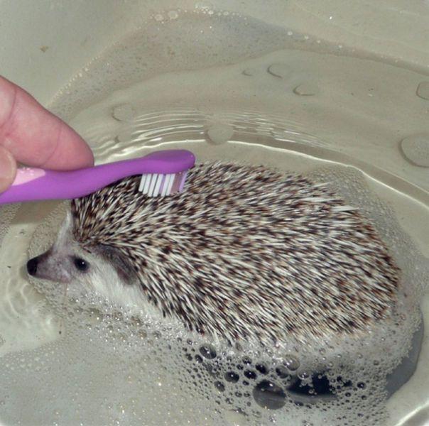 how do you give a hedgehog a bath? very carefully.