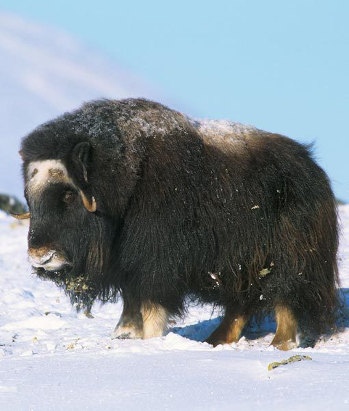 Muskox (Ovibos moschatus) is an Arctic mammal of the family Bovidae, noted  for