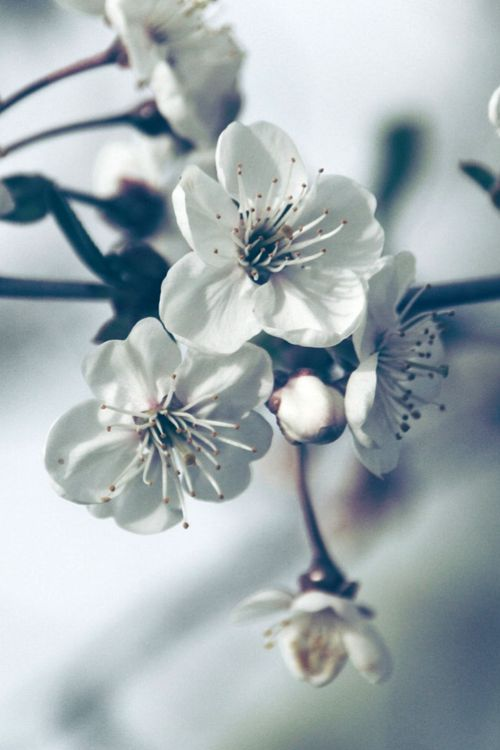 .Cherries Blossoms, Almond Blossoms, Iphone 5S Wallpapers, Flower Power, Greyscale Flower, Plum Blossoms, 1 136X640 Wallpapers, White Dogwood, Spring Blossoms