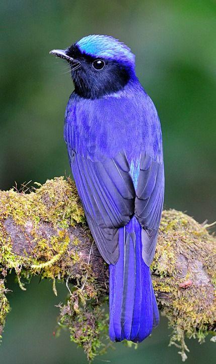 Large Niltava (Niltava grandis). A bird of tropical Asia ...