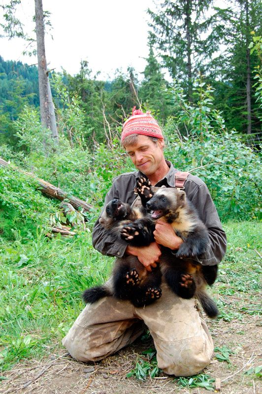 Steve Kroschel is the father of two, two little feisty furballs that is! The wildlife filmmaker adopted these two orphaned wolverine kits and have raised them since birth. Learn more w/ @Patti Stamp Nature .