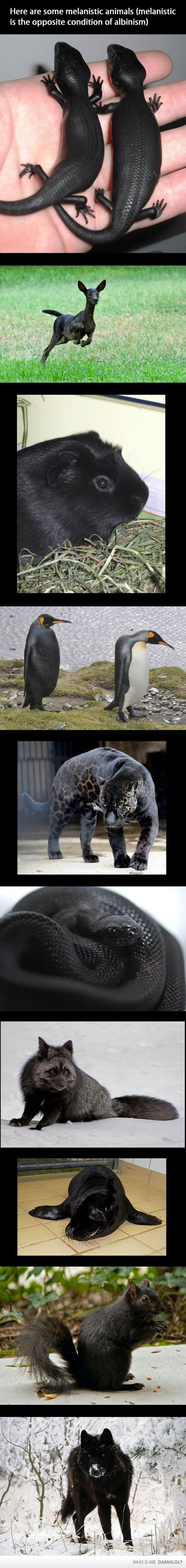 Melanism - When the body produces too much Melanin instead of too little. The opposite of Albinism. Ahh! I love the skinks! So adorbs!