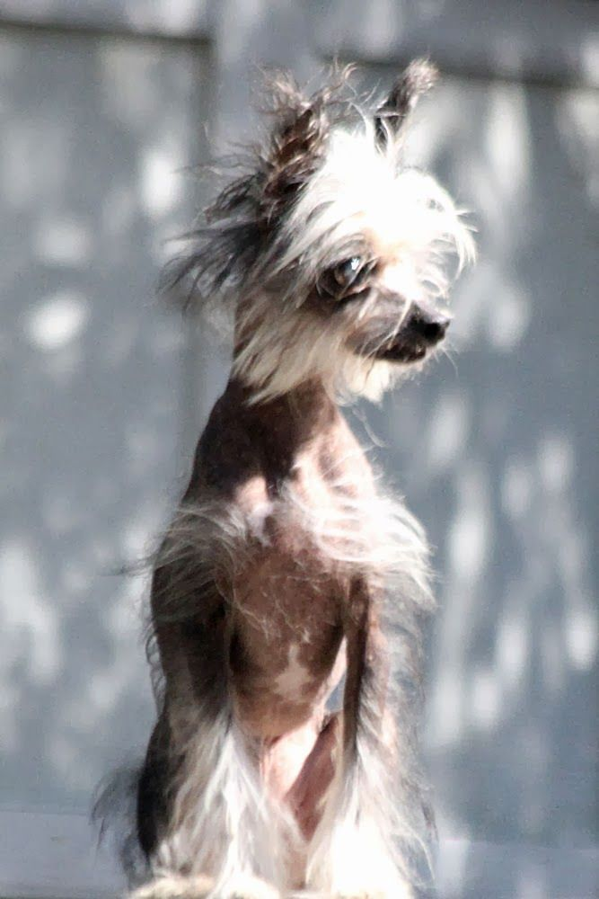 479 Best Chinese Crested Love Images On Pinterest Chinese Crested
