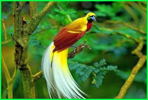 how many bird of paradise species are there, species of a