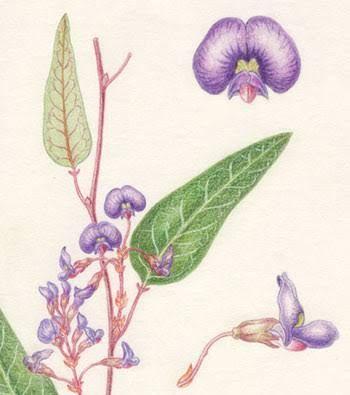 Image result for hardenbergia violacea
