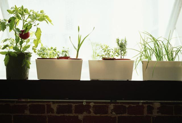 How to grow an indoor herb garden: If you do not get enough light from a window, you can supplement your herb's growth with grow lights. Other concerns with indoor herb gardening are temperature and moisture. For some plants, the air inside is too dry during the winter and additional moisture needs to be provided. Pests can also become a problem for indoor herb plants.