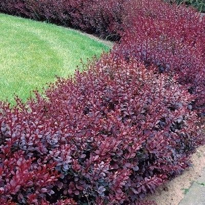 Red Barberry Shrub - Full to Partial Shade. Zones 4-9. Most varieties grow to 3 ft.  For around back deck