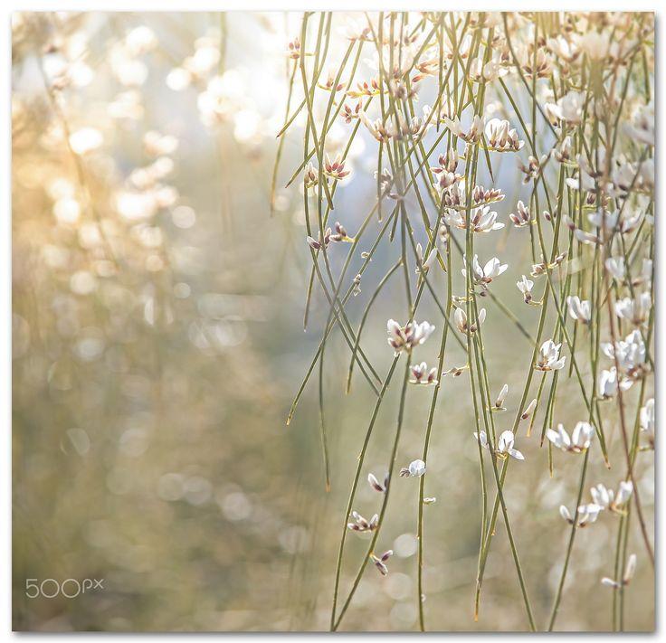 White Blossoms -