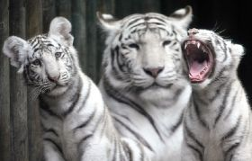 India Tigers at Czechs Liberec Zoo
