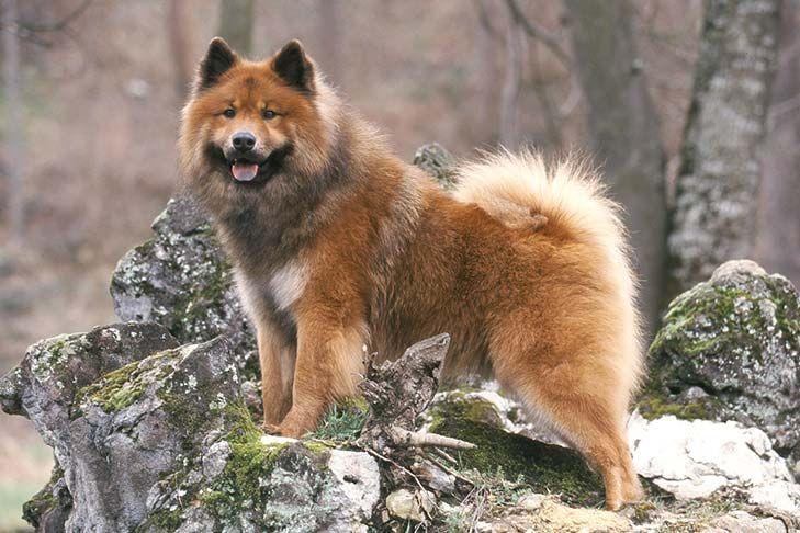 Eurasier Dog Breed Information In 2020 Eurasier Dog Breeds Dogs