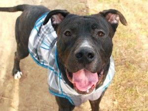 """TO BE DESTROYED 02/29/16 **ON PUBLIC LIST**  Two year old Luciano is one of those stunning dogs who makes you take a second look. Big and strong, he hates being cooped up in a cage 24 x 7 at Manhattan ACC. In decent health when he got there, full of life and real nervous, he's now got the """"shelter cold"""" and is """"lethargic"""". That's a one way ticket to tomorrow's euthanasia list at ACC. Luciano did well on his behavioral eval though he did have a strong interest in the unspayed lady dogs! So…"""