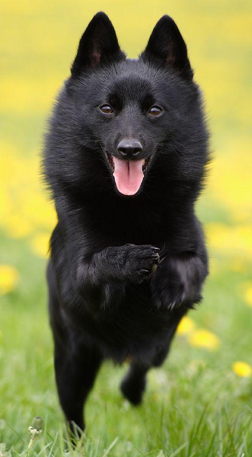 Fantastic Black Chubby Adorable Dog - 50dc2a21e8b80cf87db1f5c57b0bf028--schipperke-dog-puppy-breeds  Graphic_164817  .jpg