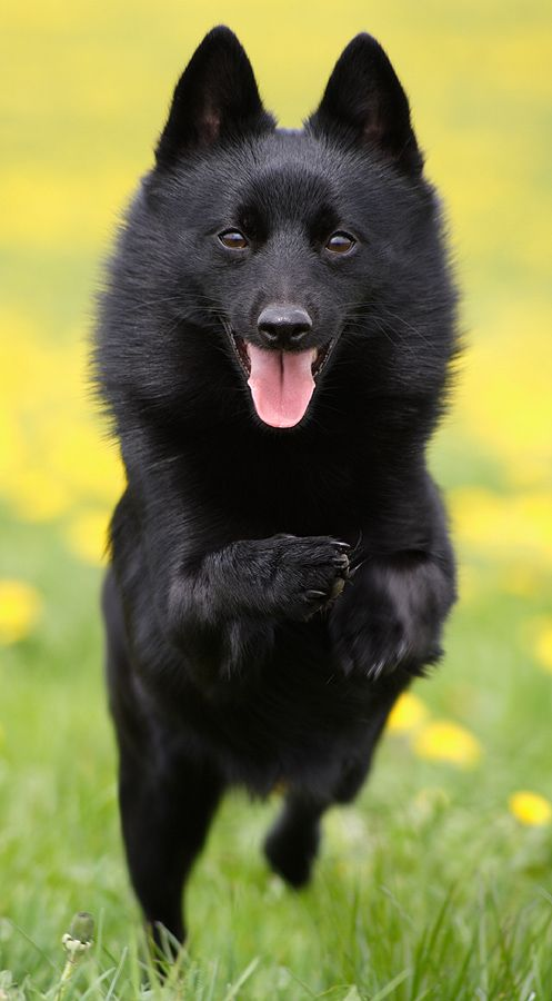 Schipperke... Wes' mom has this dog, never heard of it until she got one.  It looks like a little black bear.
