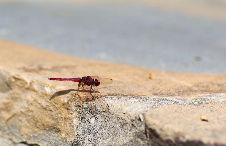 Punainen sudenkorento Marbellassa