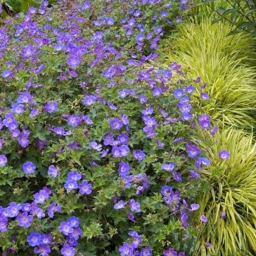 One of the longest blooming Geraniums we know of & the best, most garden-worthy hardy Geranium you can grow. Dozens of large, 1.5 lovely blue flowers put on a show in early summer and keep going until fall, flowering well in the heat of summer or the cool nights of early fall. Geranium Rozanne is delightful where it can spill over ledges, large boulders or scramble up over pink daylilies. Winner of the Perennial Plant of the Year This long-blooming blue Geranium make...