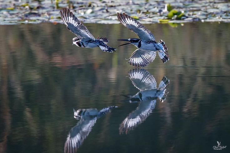 The Chase (Pied Kingfisher), Loskop Dam, South Afric