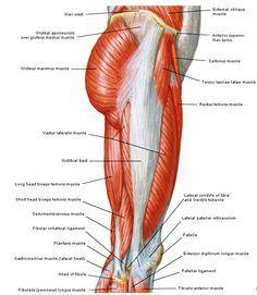 Anatomie: heup,bovenbeen,knie,onderbeen,enkel,voet,acetabulum,collum femoris,trachanter,femur,epicondyl,meniscus,kruisband,cruciate ligament,patella,knieschijf,tibia,fibula,malleolus,talus,calcaneus,tarsus,metatarsus,phalanx,falanx,quadriceps femoris,rectus femoris,sartorius,tensor fasciae latae,tractus iliotibialis,biceps femoris,gastrocnemius,semimembranosus,semitendinosus,soleus,suralis,vena saphena parva,vena saphena magna,sciatic,ischiadicus,peronea