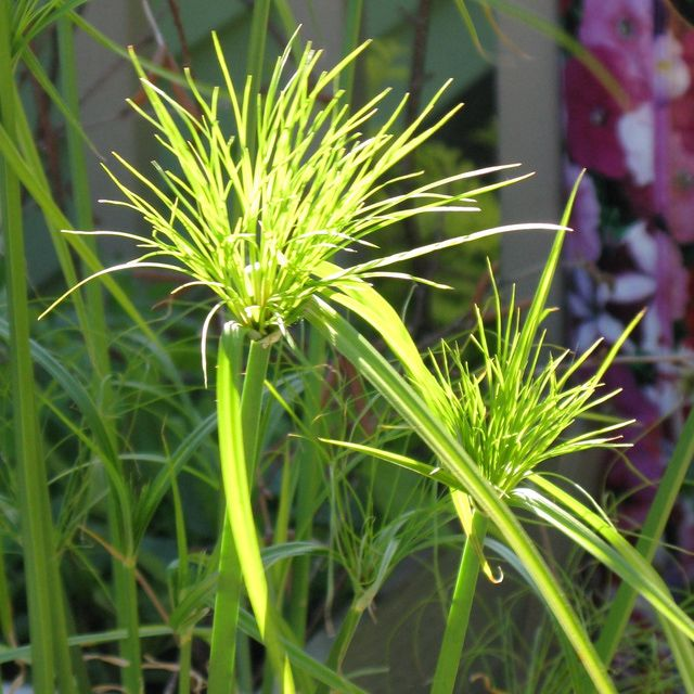 King Tut grass is a great container garden plant. It grows fast, looks spectacular and is easy to grow.