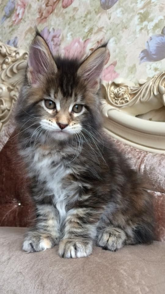 Pictures Of Maine Coon Cats Grey Ones