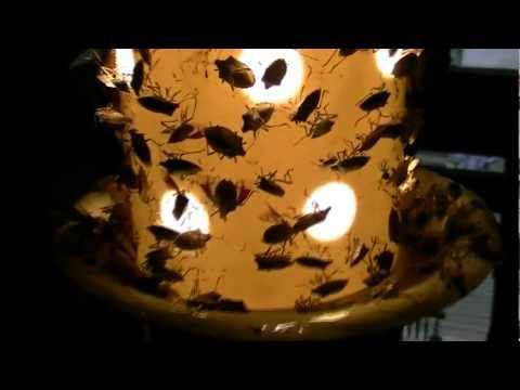 How To Catch Stink Bugs! There is no better, easier way to catch stink bugs. The Strube Stink Bug Trap is like an exterminator in a box.