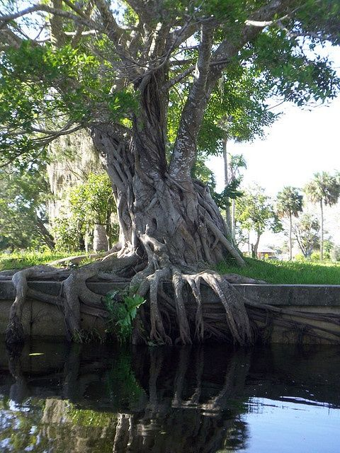 These crazy trees are all over in bonita springs florida. They are huge & full of little lizards!