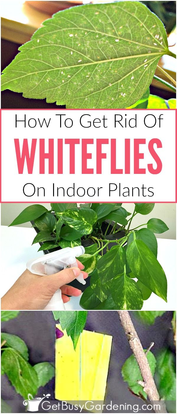 How To Get Rid Of Whiteflies On Indoor Plants For Good White Flies Plant Pests White Bugs On Plants