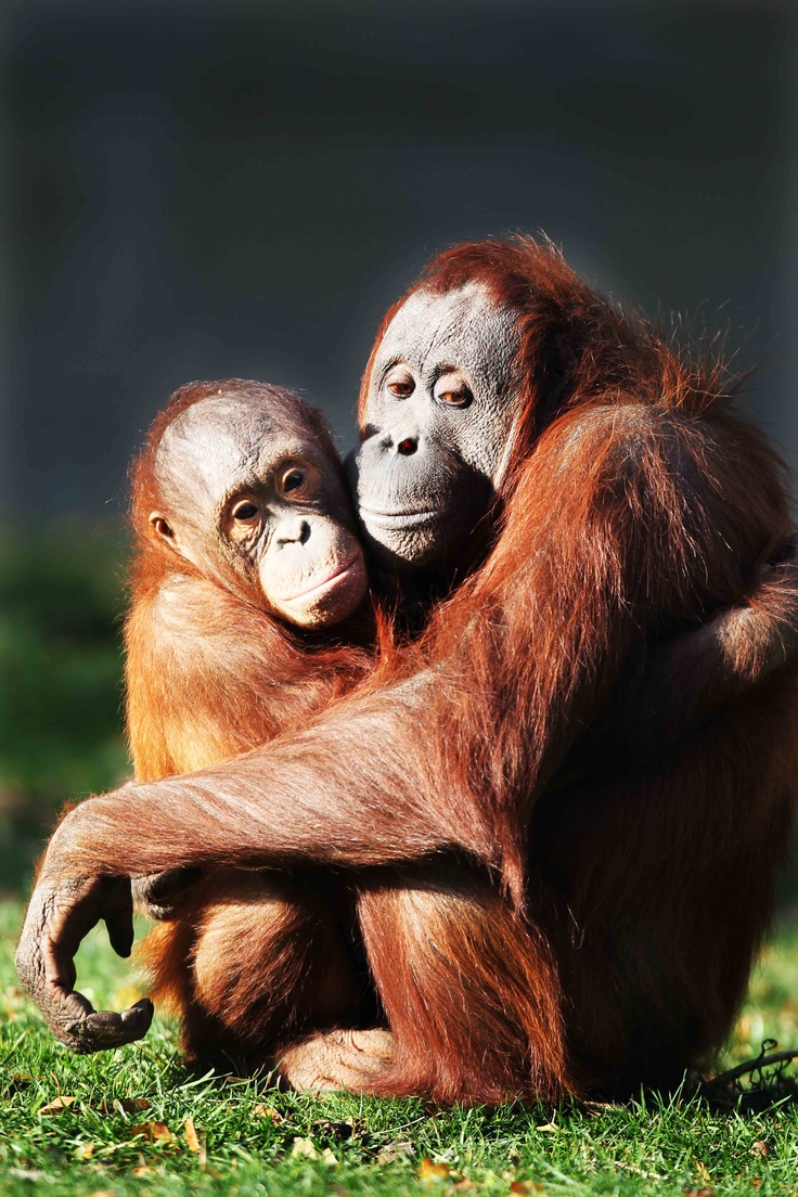 Also known as the red ape or 'old man of the forest' and renowned for their intelligence and strength, Bornean orang-utans are the largest tree-living mammals.