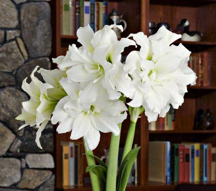 195 best amarilis images on for Amarilis decoration