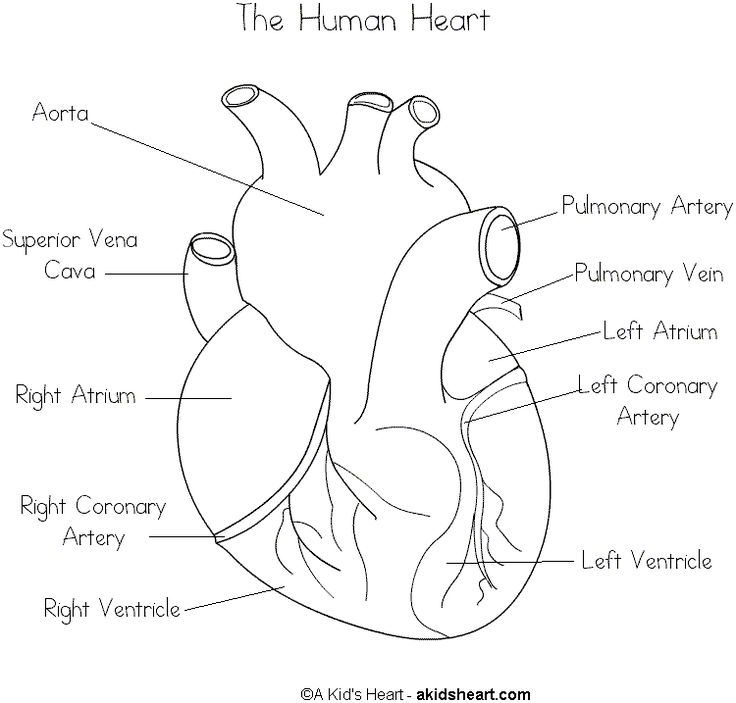 free parts of the heart worksheets | Human Hearts with Labels to Print