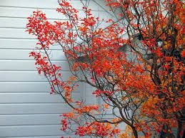 Image result for crepe myrtle autumn