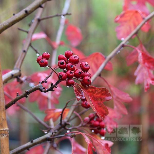 Crataegus laevigata Plena - Midland Hawthorn Tree – Mail Order Trees