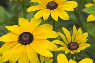 Rudbeckia - Choosing and Growing Black-Eyed Susans