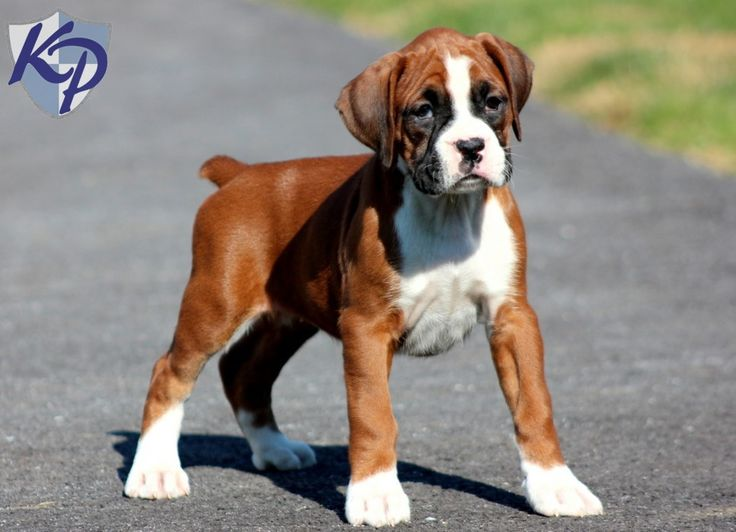 Mitsy – Boxer Puppy www.keystonepuppies.com  #keystonepuppies  #boxerpuppy