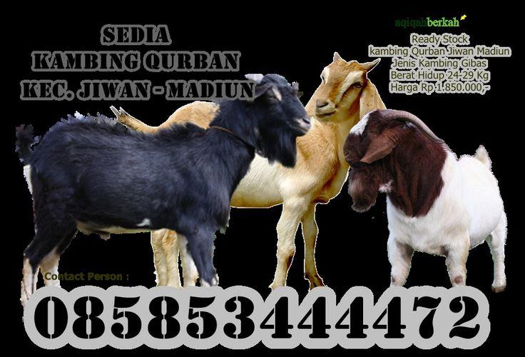 Sedia Kambing Qurban Kec. Jiwan Madiun Pemesanan 085853444472