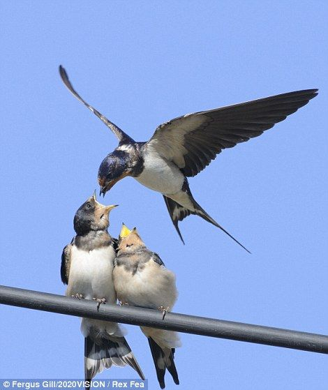 a barn swallow swoops down to feed a fledgling on a wire, in Perthshire,
