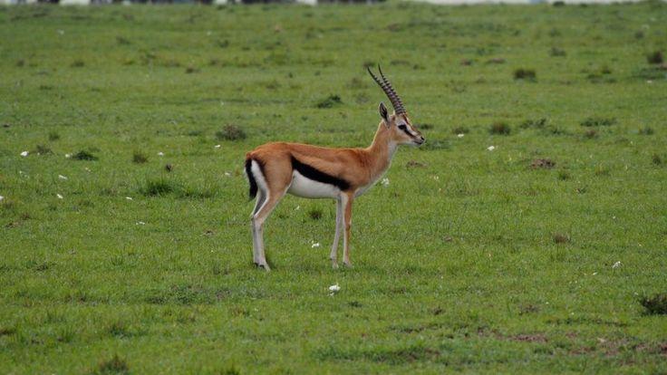Thomson's gazelle, Masai Mara Kenya